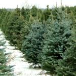 Christmas tree farms near Cleveland, Ohio