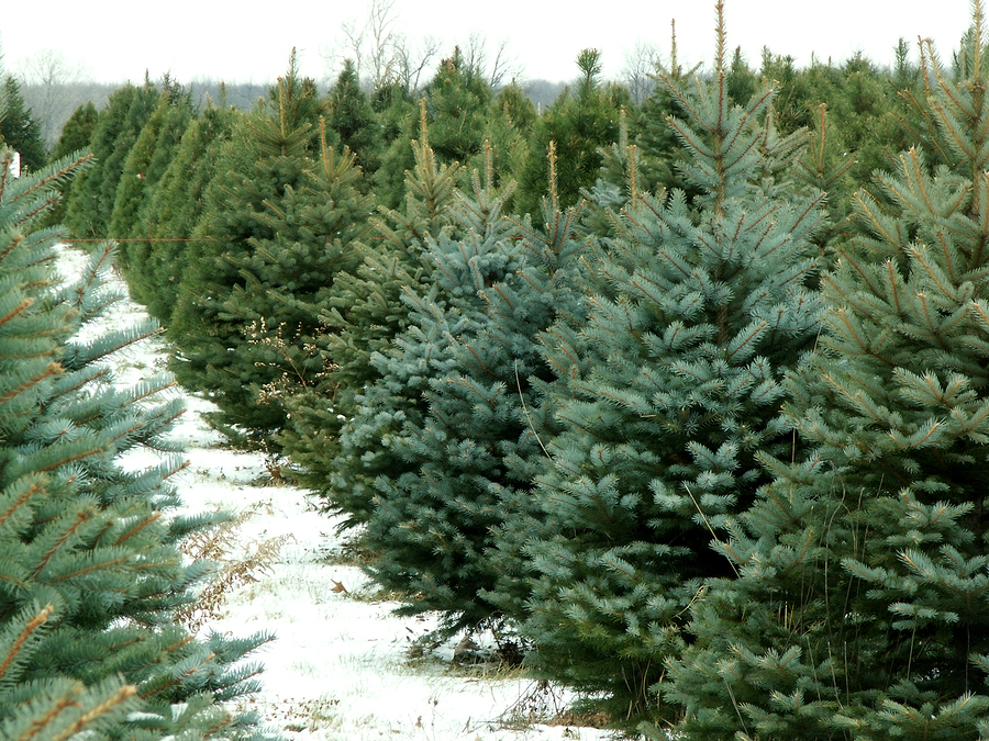 Christmas tree farms near Cleveland, Ohio